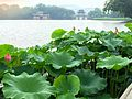 Lotus at West Lake.JPG