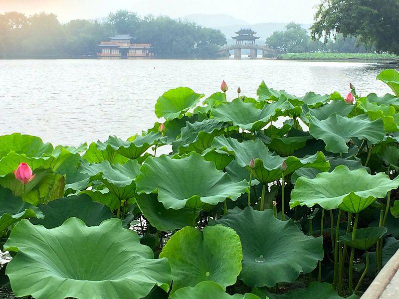 Lotus at West Lake.JPG