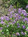 Lunaria annua Corfu Blue (26607392382).jpg