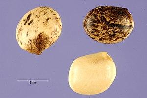 Lupinus mutabilis - Image: Lupinus mutabilis seeds