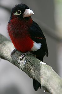 Lybius bidentatus -San Diego Zoo-8a