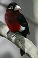 Lybius bidentatus -San Diego Zoo-8a.jpg