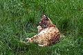 Lynx lynx Ähtäri 1.jpg