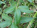 Lysimachia vulgaris20090812 070.jpg