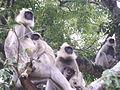 MNP Grey Langeurs family.JPG
