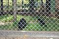 Macaco Aranha Testa Branca310710 REFON 2.JPG