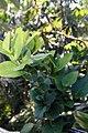 Macleania smithiana 2zz.jpg