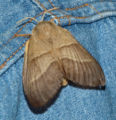 Macrothylacia rubi01.jpg