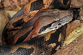 Madagascar ground boa (Acrantophis madagascariensis) head Lokobe.jpg