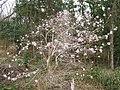 Magnolia stellata at Tabika02.jpg