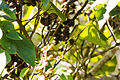 Magnolia warbler (21300355183).jpg