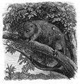 Malay Archipelago Cuscus ornatus, a Moluccan marsupial.jpg