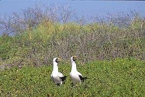 Malden Island - A pair of masked boobies (Sula dactylatra) calling on Malden Island