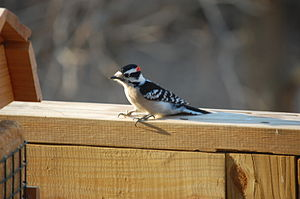 English: Male Downy woodpecker (Picoides pubes...