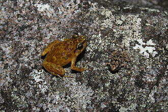 Black Mountain boulder frog - Male and juvenile of the Black Mountain Boulder Frog (Cophixalus saxatilis)