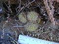 Mammillaria sinistrohamata (5726010318).jpg