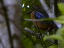 Fail:Mangrove Pitta.ogv