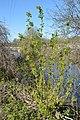 Manitoba Maple (Acer negundo) - Guelph, Ontario 2020-05-20 (11).jpg