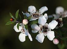 Five-petaled white flowers and round buds on twigs bearing short spiky leaves. A dark bee is in the centre of one of the flowers.