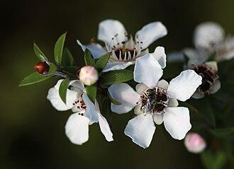 Mānuka honey - A native bee visits a mānuka flower (Leptospermum scoparium)