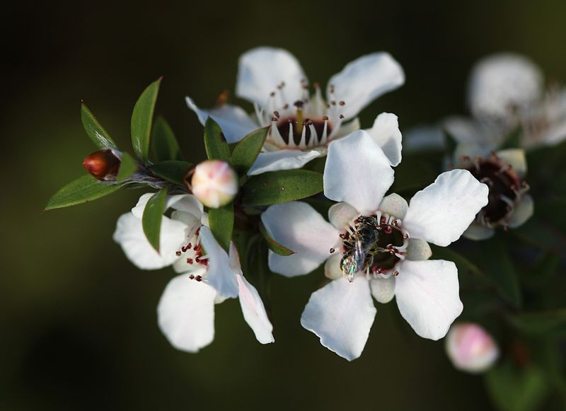 Manuka flowers and native bee