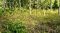Marayoor natural sandal forest - panoramio (17).jpg