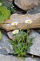 Marguerite-Leucanthemum vulgare-20150411.jpg