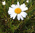 Marguerite commune, Leucanthemum vulgare 1.jpg
