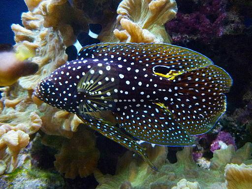 Marine betta fish or Comet (Calloplesiops altivelis)