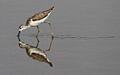 Marsh Sandpiper, Tringa stagnatilis at Borakalalo National Park, South Africa (9900338203).jpg