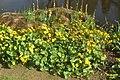 Marsh marigold (SG) (33868441096).jpg