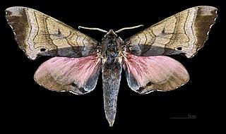 <i>Marumba</i> genus of insects
