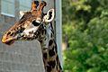 Masai Giraffe (giraffa camelopardalis tippelskirchi).jpg
