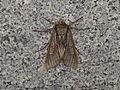 Meganephria cinerea (15334616798).jpg