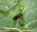 Melanostoma sp (36689465536).jpg
