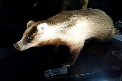 Meles leucurus - National Museum of Nature and Science, Tokyo - DSC06812.jpg
