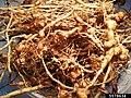Meloidogyne spp at Solanum lycopersicum (01).jpg