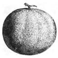 Melon maraîcher commun Vilmorin-Andrieux 1883.png
