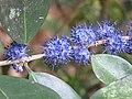 Memecylon umbellatum flowers at Peravoor (8).jpg