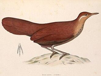 Mesite - Image: Mesitornis unicolor 1849