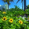 Miami Beach - Sand Dune Flora - Yellow Flowers 012.jpg