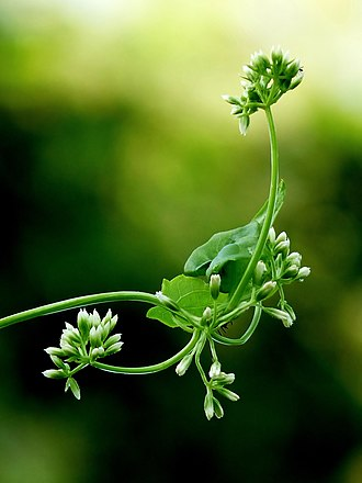 Mikania micrantha - Mikania micrantha