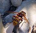 Milesia crabroniformis - Flickr - gailhampshire (1).jpg