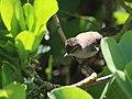Millerbird fledgling on Laysan.jpg