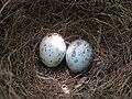 Mimus polyglottos eggs 04.JPG