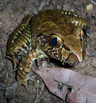 Conondale National Park - The endangered giant barred frog Mixophyes iteratus