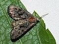 Mniotype ?adusta - Dark brocade - Полевая совка опаленная (41130406061).jpg