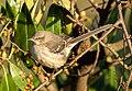Mockingbird in GWC (71606).jpg