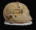 Modelo en cera de cerebro humano, casa parisina Tramond, último tercio del siglo XIX.jpg