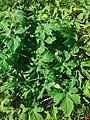 Momordica charantia (Cucurbitaceae) 02.jpg